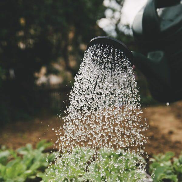 Närbild på vatten som strilas ur en vattenkanna över gröna växter