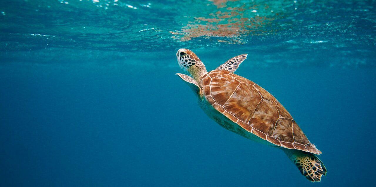 Brun sköldpadda som simmar upp mot vattenytan.