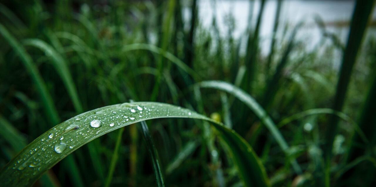Fuktiga gröna växter vid en sjö